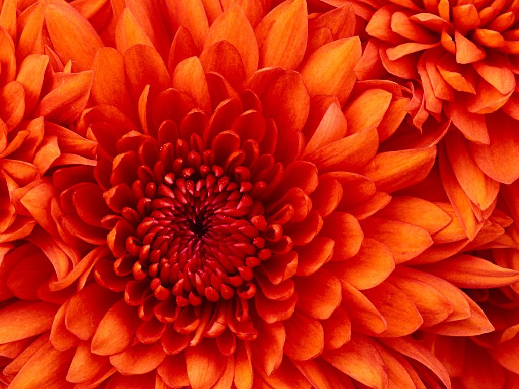 Image d'une chrysanthème